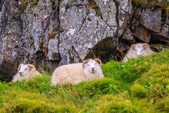 Carneiros islandêses Fotografia de Stock
