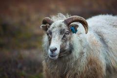 Carneiros islandêses fotos de stock royalty free