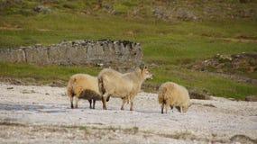 Carneiros islandêses em Hveravelir imagens de stock royalty free