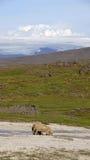 Carneiros islandêses que bebem em Hveravelir Fotos de Stock Royalty Free