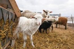 Carneiros macios brancos pequenos do cordeiro entre adultos Um cerco para animais fender-hoofed A pesca da carne de carneiro em r imagens de stock royalty free
