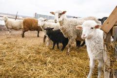 Carneiros macios brancos pequenos do cordeiro entre adultos Um cerco para animais fender-hoofed A pesca da carne de carneiro em r imagem de stock