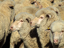 Carneiros - multidão Imagem de Stock