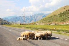 Carneiros na estrada Fotografia de Stock