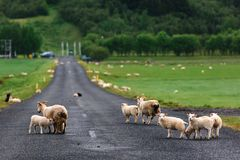 Carneiros na estrada islandêsa Imagens de Stock Royalty Free