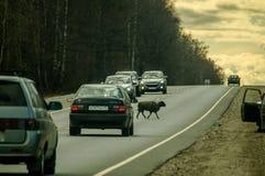 Carneiros na estrada na região de Kaluga (Rússia) Fotografia de Stock