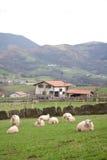 Carneiros na exploração agrícola Foto de Stock