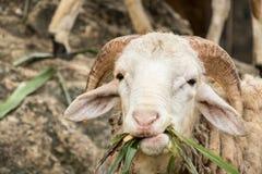 Carneiros na exploração agrícola Fotos de Stock Royalty Free