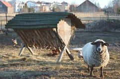 Carneiros na exploração agrícola da família durante a mola imagem de stock