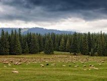 Carneiros na grama Foto de Stock