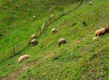 Carneiros na grama da montanha Imagens de Stock Royalty Free