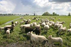 Carneiros na paisagem holandesa Imagem de Stock