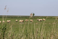 Carneiros na província holandesa de Zeeland em Holland fotografia de stock royalty free