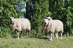 Carneiros na província holandesa de Zeeland em Holland imagem de stock