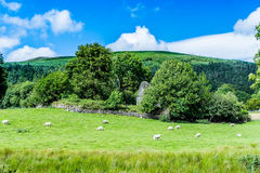 Carneiros nas inclinações da montanha de Wicklow Imagem de Stock