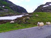 Carneiros nas montanhas, Noruega do grupo Fotos de Stock