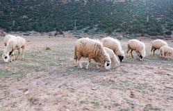 Carneiros negligenciados, sujos que pastam nas montanhas rochosas, atlas, Mo Imagem de Stock