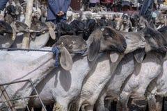 Carneiros no bazar dos rebanhos animais de domingo, Kashgar, China imagens de stock royalty free
