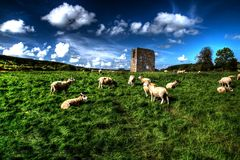 Carneiros no campo A Foto de Stock Royalty Free