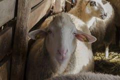 carneiros no campo Ambiente rural sheepfold imagem de stock royalty free