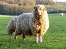 Carneiros no campo na exploração agrícola de Bullsland, Chorleywood fotos de stock royalty free