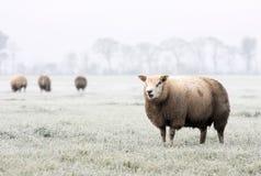 Carneiros no inverno Fotografia de Stock Royalty Free