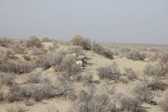 Carneiros no mar de Aral Imagem de Stock