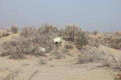 Carneiros no mar de Aral Fotografia de Stock