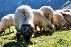 Carneiros no pasto Foto de Stock Royalty Free