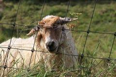 Carneiros no prado atrás da gaze do ` s dos carneiros foto de stock royalty free