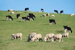 Carneiros no prado rural verde, ilha sul, Nova Zelândia Imagem de Stock Royalty Free
