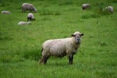 Carneiros no prado verde Fotos de Stock