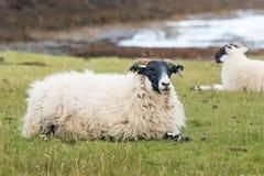 Carneiros nos animais escoceses do campo produzidos para lãs escocesas scotland Reino Unido Europa imagem de stock
