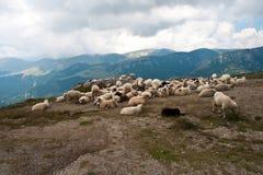 Carneiros nos carpathians Foto de Stock