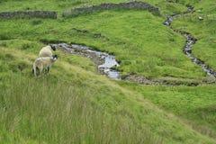 Carneiros nos vales de Yorkshire Imagem de Stock
