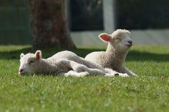 Carneiros, Nova Zelândia Imagem de Stock