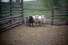 Carneiros novos bonitos em uma exploração agrícola atrás de uma cerca de madeira Fotos de Stock