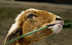 Carneiros novos nos rebanhos animais com grama Fotos de Stock Royalty Free