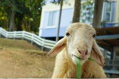 Carneiros novos nos rebanhos animais Tailândia oriental Fotografia de Stock