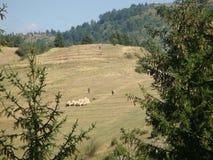 Carneiros a pastar em um gramado na descida na montanha de Bulgária Fotografia de Stock
