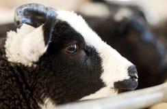 Carneiros preto e branco da exploração agrícola Imagens de Stock Royalty Free