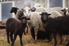 Carneiros preto e branco em uma pena para o gado fotografia de stock