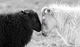 Carneiros preto e branco no pasto imagem de stock royalty free