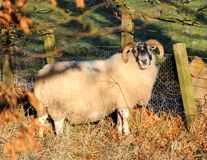 carneiros Preto-enfrentados com chifres, Escócia imagem de stock royalty free