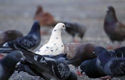 Carneiros pretos da família Imagem de Stock Royalty Free