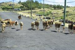 Carneiros que andam livremente na estrada, Rodrigues Island Fotos de Stock