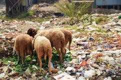 Carneiros que comem entre pilhas de desperdícios Fotografia de Stock Royalty Free