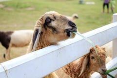Carneiros que comem a grama Imagem de Stock Royalty Free