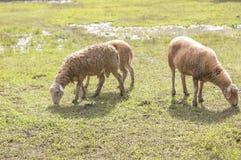 Carneiros que comem a grama em campos com o pântano no fundo Foto de Stock Royalty Free