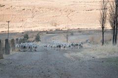 Carneiros que correm na estrada do cascalho Fotografia de Stock